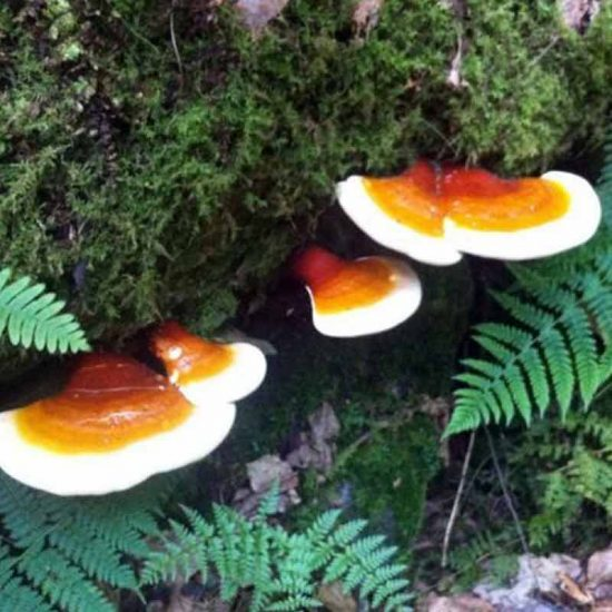 Reishi Ganoderma Lucidum mushroom